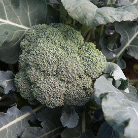 "Love broccoli? These ""mini trees"" are an excellent source of Vitamin C, Vitamin K, folate, potassium, and fiber."
